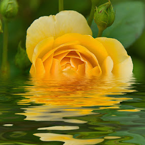 Yellow rose by Boris Frković - Artistic Objects Other Objects ( water, rose, ripples, yellow )