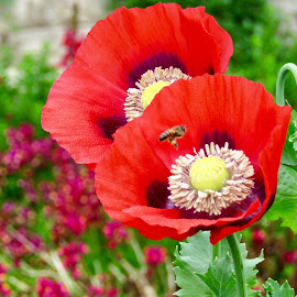 Red poppies  by Roxana McRoberts - Flowers Flower Gardens