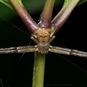 Crab Spider (Massuria sp. ??)