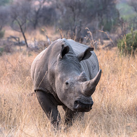 Male Rhino by Warren Hanna - Novices Only Wildlife ( south africa, endangered, wildlife, special, rhino )