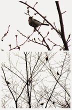 Photo: 撮影者:佐藤サヨ子 ウソ タイトル:肌寒い3月 観察年月日2,015年3月9日: 羽数:6羽 場所:日野3中裏門 区分:行動 メッシュ:武蔵府中3H コメント:立春はとうに過ぎたとはいえ、この寒差はちょっと困ります。 それでも小鳥たちは元気ですね。
