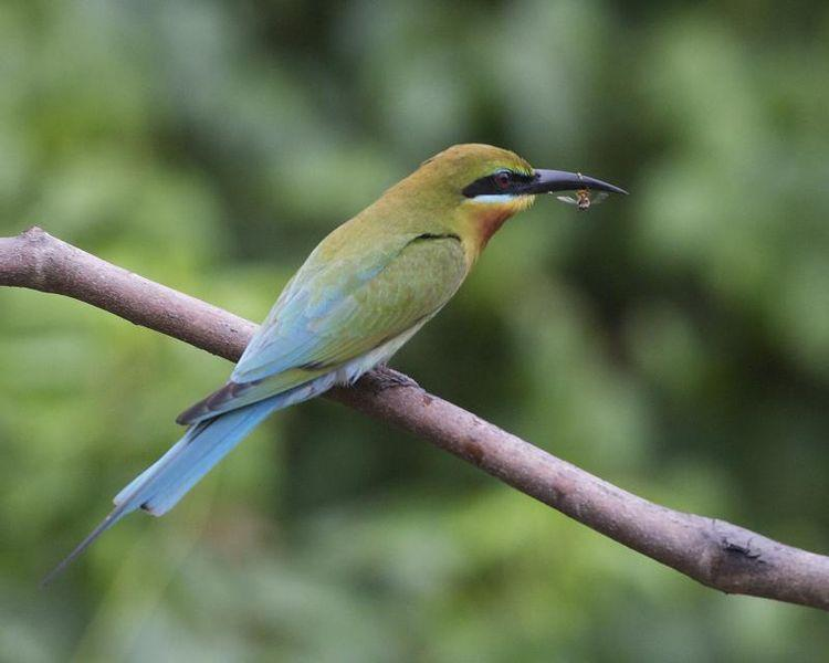 File:Blue-tailed Bee-eater (Merops philippinus) - Flickr - Lip Kee (1).jpg
