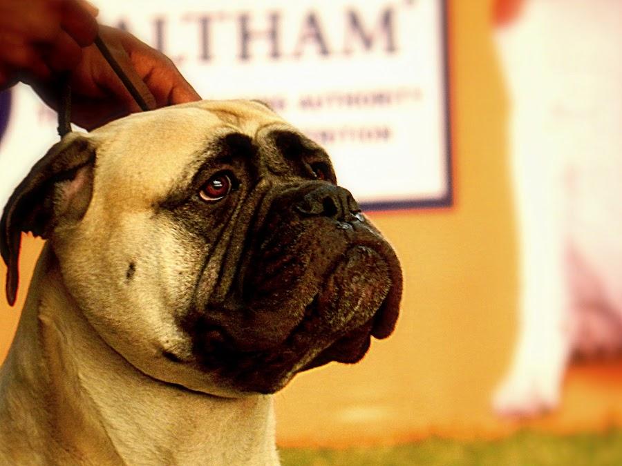 Man's best friend by Soumya Dutta - Animals - Dogs Portraits