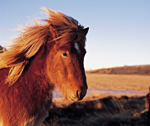 Icelandic horses are smaller and a little fuzzier than their North American counterparts.