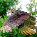 Urubu-de-cabeça-amarela (Lesser Yellow-headed Vulture)