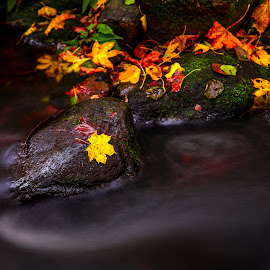 Fallen leave by Robin Tobon - Nature Up Close Leaves & Grasses ( orange, fall, leaves, sweden, nature, yellow, water,  )
