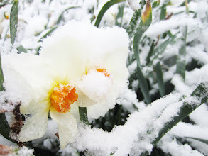 Photo: White and orange daffodils under snow at Cox Arboretum in Dayton, Ohio.