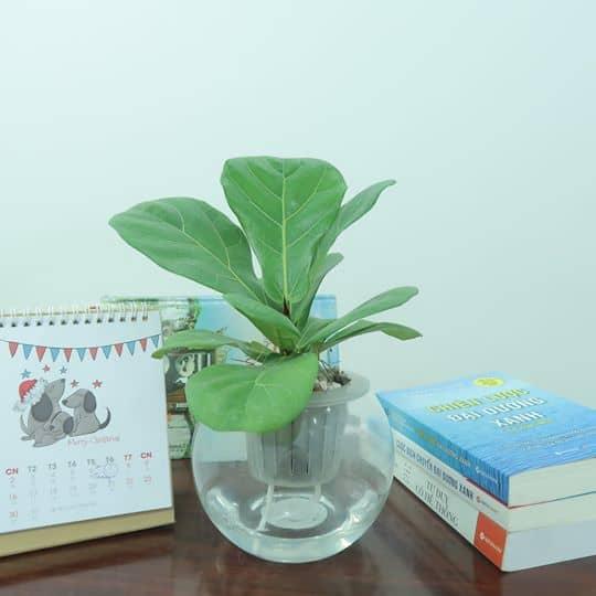Cây bàng Singapore được trồng bằng chậu nước