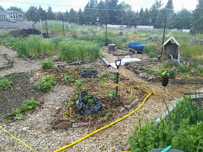 Photo: bush beans and tomato planted in mandala bed 1