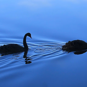 Follow the Leader by Anthony Rutter - Animals Birds ( black swan, canberra, follow the leader, lake, follow,  )