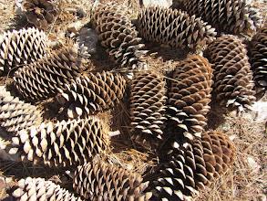 Photo: Sugar pine cones