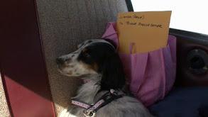 Miniature Bull Terrier, Dingo, English Setter, Borzoi, Wonder Dog, Keeshond thumbnail