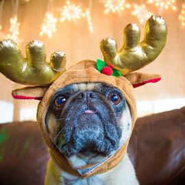 Pug Life by Meaghan Browning - Animals - Dogs Portraits ( reindeer, christmas, holidays, dog, pug )