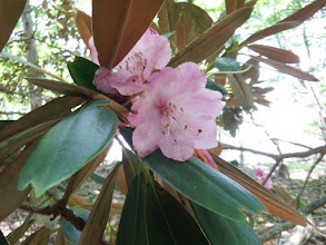 シャクナゲの花(終わり掛け)