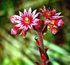 Photo: Bonjour, 23° - ciel clair.  Joubarbe toile d'araignée (Sempervivum arachnoidum) - Lubéron (04) Plante protégée.