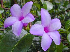 Photo: Alamanda Rosa (Crypitostegia grandiflora)