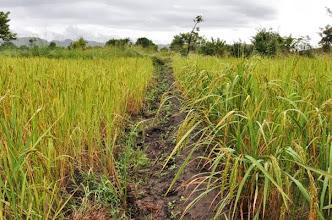 Photo: NAFAKA demoplot in Kalengakelu Village, Mlimba, Morogoro TZ; on the right SRI, on the left traditional broadcast plot [Photo by Erika Styger, 2012].