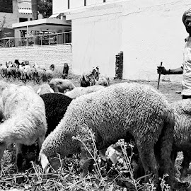 Simple and sheepish by Prachi Tewari - Uncategorized All Uncategorized ( #natural, #blissful, #blackandwhite, #thelittlethings, #allaboutthosesheeps )
