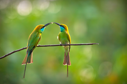 A Token Of Love by Mahdi Hussainmiya - Animals Birds ( love, affection, sharing, bird pairs, caring, feeding, togetherness, celebration, romance )