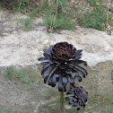 Blackrose plant(Tree Houseleek)