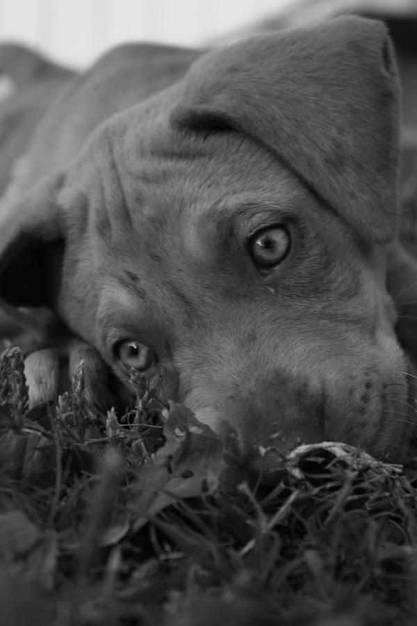 Jake by Sherry Klander - Animals - Dogs Portraits