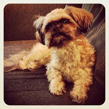 Photo: Mrs. E. dog portrait (a friend's dog) #intercer #dog #puppy #dogs #animals #funny #beard #k9 #canine #face #beautiful #pretty #pet #pets #dogsofinstagram #petsofinstagram #portrait #fur - via Instagram, http://instagram.com/p/eFVFKGpfqt/