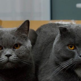 Nicky an Ricky by Edu Marques - Animals - Cats Portraits ( gato, portraiture, cats, cat, cat eyes, cat portrait, couple, animal )
