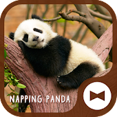 Cute Wallpaper Napping Panda Theme