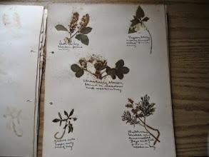 Photo: Autres végétaux trouvés et cueillis à Rectory Hill il y a 100 ans.