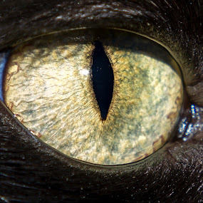 Cat's Eye by Chad W - Novices Only Pets ( pupil, iris, gold, close up, black cat, eye )