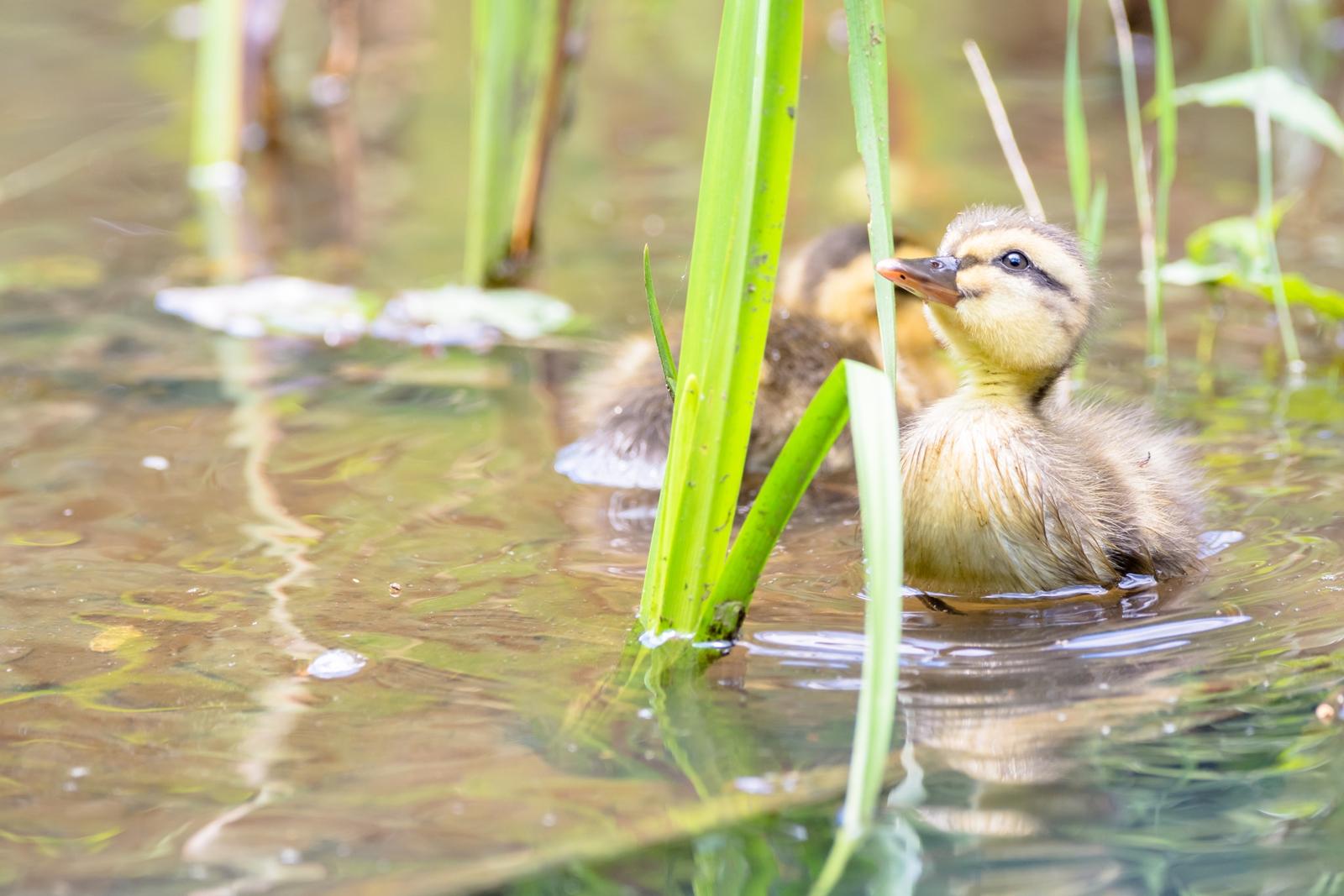 Photo: 好奇心いっぱい Full of curiosity.  気になったら止まらない 夢中になって 見て、触れて、感じて とても大切な 知るということ  Baby of spot-billed duck. (カルガモの赤ちゃん)  #birdphotography #birds #cooljapan #kawaii #nikon #sigma  Nikon D7200 SIGMA 150-600mm F5-6.3 DG OS HSM Contemporary  ・小鳥の詩朗読 /poetry reading https://youtu.be/c5m06tqo5-o?list=PL2YtHGm0-R3qVsaqvQe9OYdJFCkI98wzF