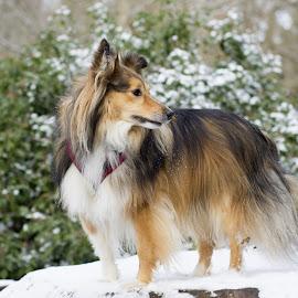 Snow sheltie by Fiona Etkin - Animals - Dogs Portraits ( canine, nature, companion, pet, snow, shetland sheepdog, dog, sheltie, animal )