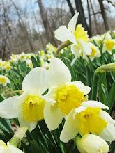 Photo: Beautiful daffodils at Wegerzyn Gardens in Dayton, Ohio.