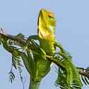 Green Garden Lizard / common green forest lizard