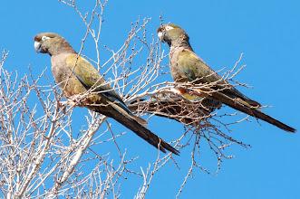 Photo: Burrowing Parrot (Felsensittich); Valle Calchaquí, ARG