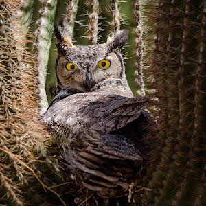 Great Horned Owl-63.jpg