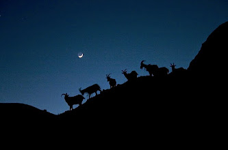 Photo: Pack goats are silhouetted by the light of the moon in the Red Desert, Wyomingd