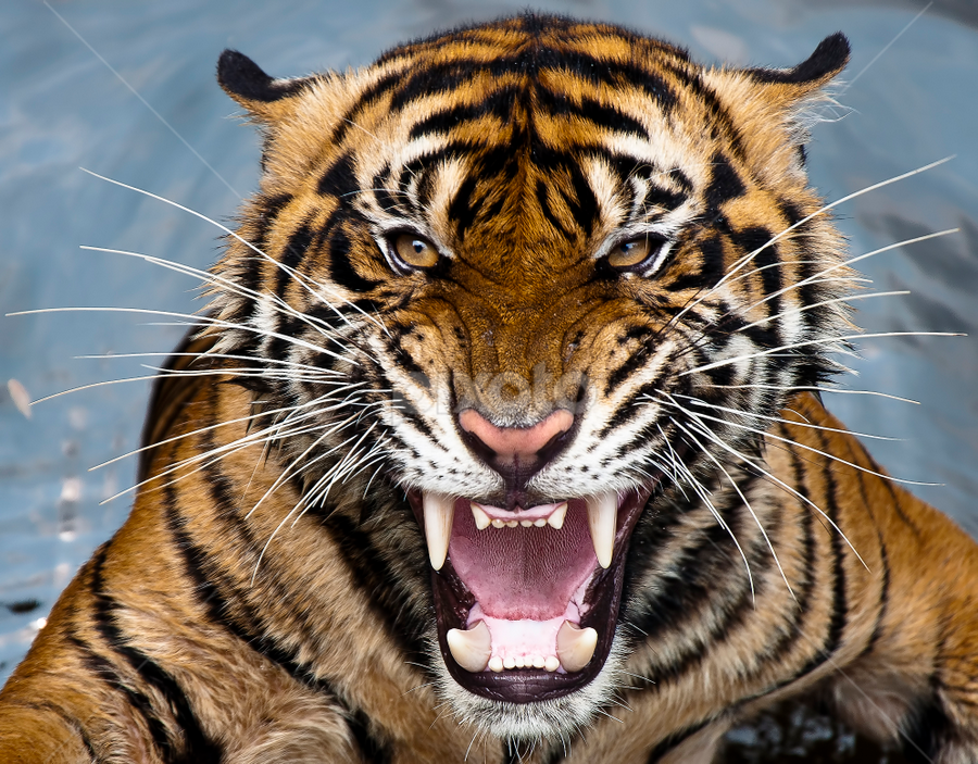 Tiger angry by Robert Cinega - Animals Lions, Tigers & Big Cats ( , animal, motion, animals in motion, pwc76 )
