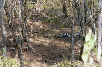 Photo: My first sighting of tigers in Ranthambhore in 2002