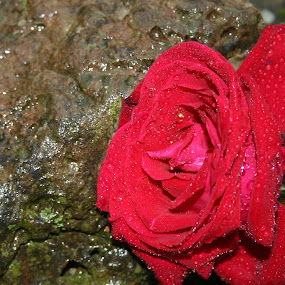 Fallen Rose by Becky Patlan-Garcia - Nature Up Close Flowers - 2011-2013 ( rose, red, rock, wet, flower )