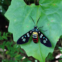 Tiger Moth or Wasp Moth