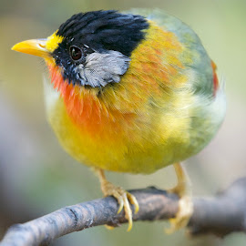Silver-eared Mesia by William Tan - Animals Birds ( bird silver-eared mesia )