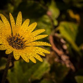droped flower by José M G Pereira - Flowers Single Flower ( water, drop, drops, yellow, garden, spring, flower, water drop )