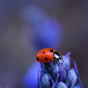red... by Tanya Popove - Animals Insects & Spiders ( plant, tiny, bright, ladybugs, beauty, insect, insects, spring, beetle, macro, septempunctata, nature, ladybird, flowers, flower, black, isolated, animals, green, beautiful, white, close-up, red, seven, blue, background, bug, summer, ladybug, natural, small, entomology )