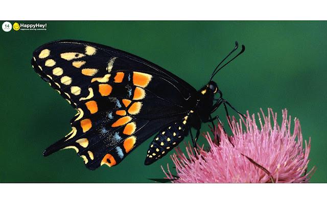 Butterflies Tab