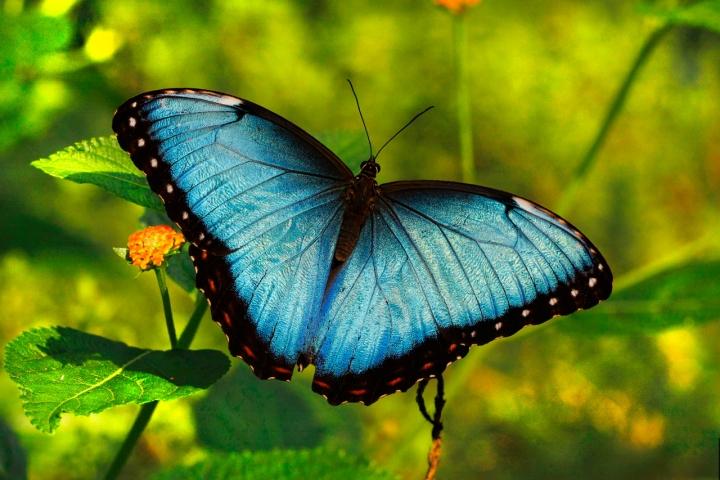 Butterfly Blue di Orione