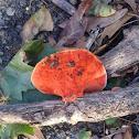 Northern cinnabar polypore