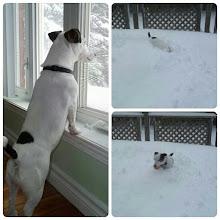 Photo: Les presento Kovi, mi #perro #jackrussell que disfruta de la #nieve