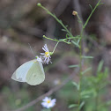 Green-eyed white or Mountain white Butterfly