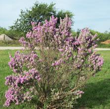 Photo: Blooming bush at Bay Landing RV in Bridgeport, TX